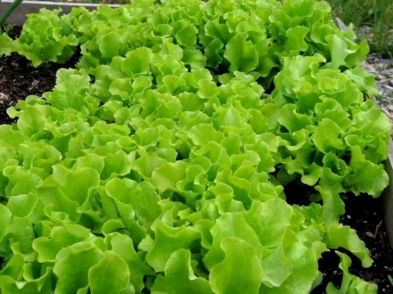 Выращивание салата в сентябре 56