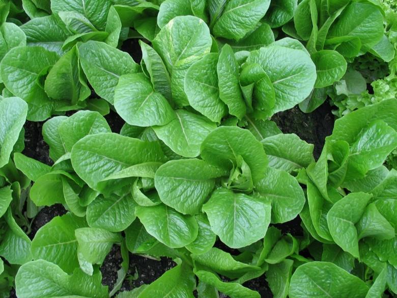 Айсберг салат выращивание дома 24