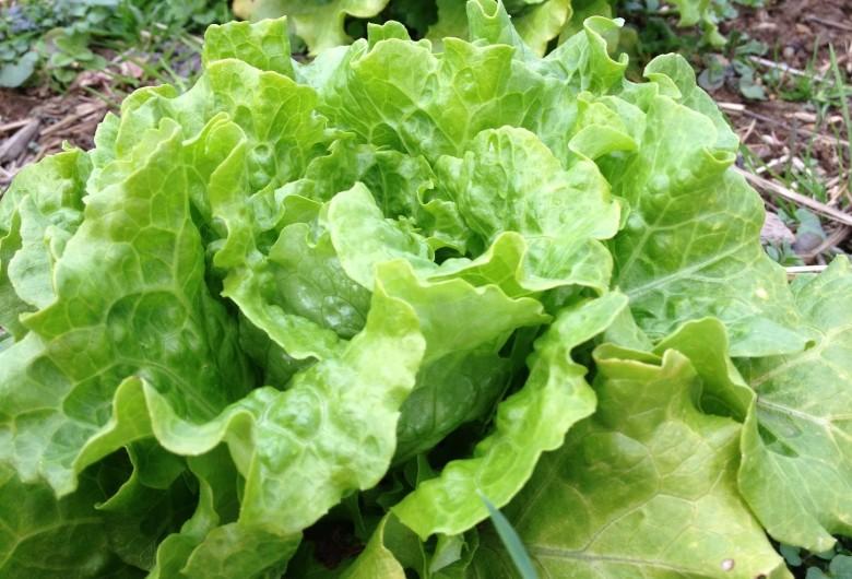 Айсберг салат выращивание дома 53