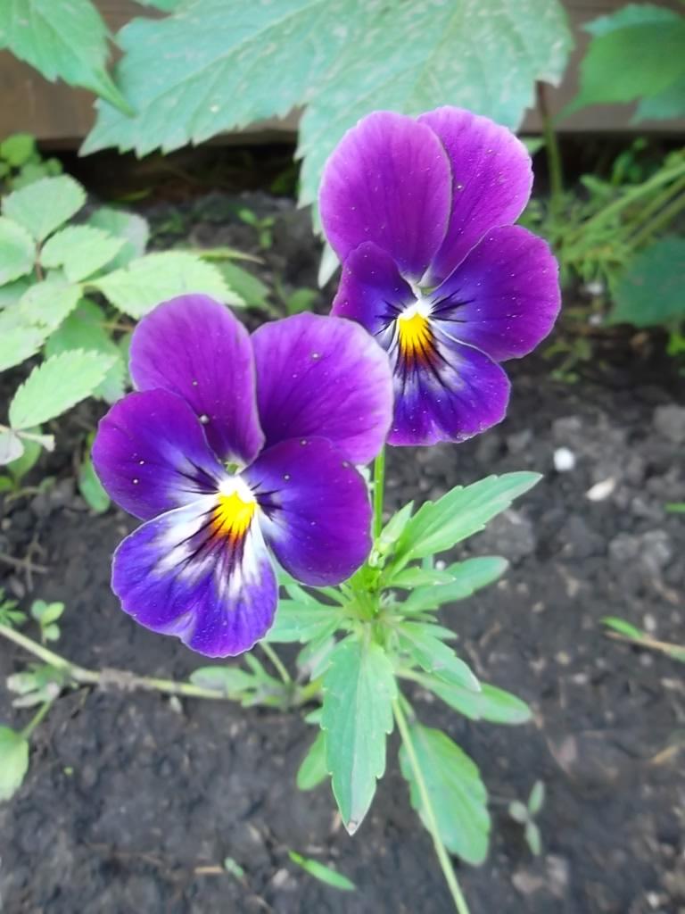 Выращивание фиалка трехцветная 96