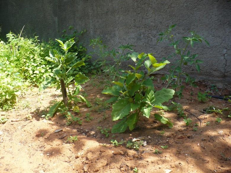 Желтеют нижние листья у рассады баклажан 56
