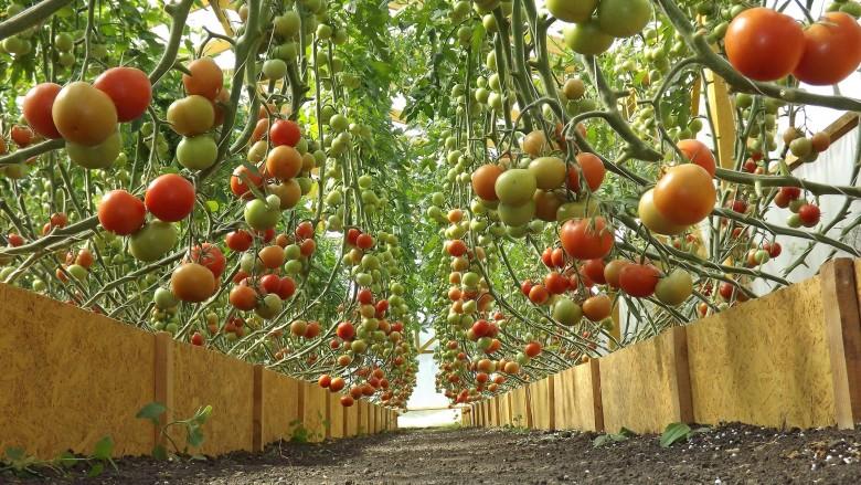 Серая гниль томатов: причины и чем лечить