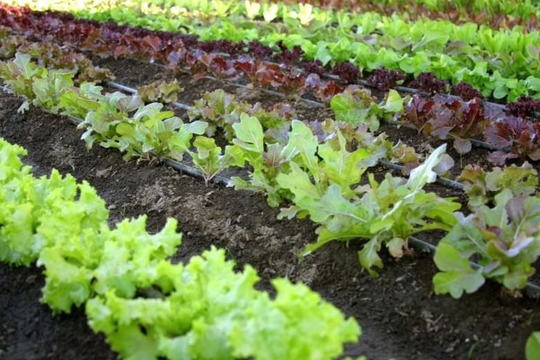 Правильное соседство овощных культур в теплице