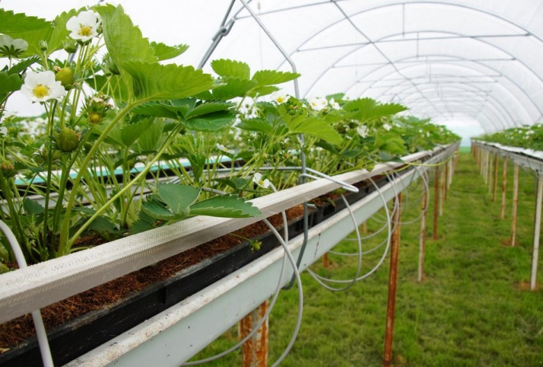 Как правильно выращивать клубнику в теплице?