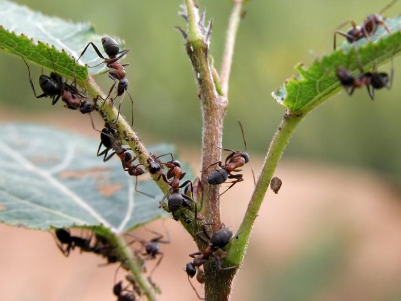 Что делать если появился муравейник в теплице