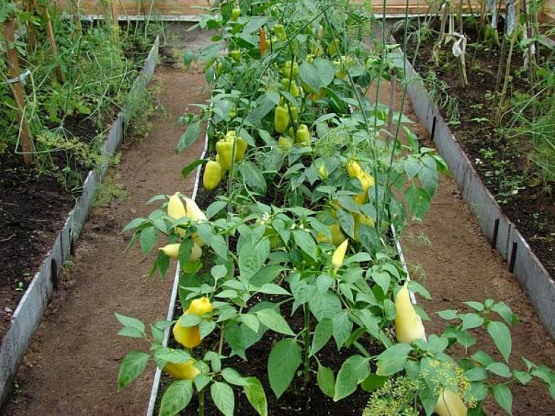 Технология выращивания овощей в теплицах