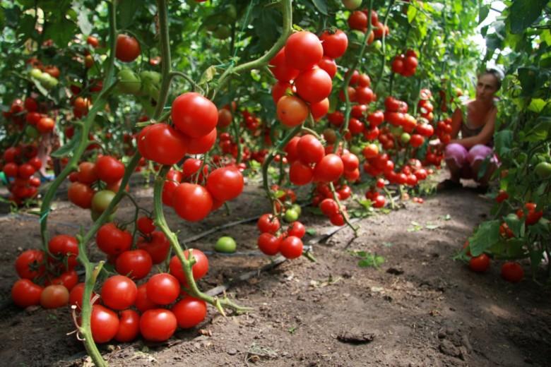 Хороший урожай томатов в теплице