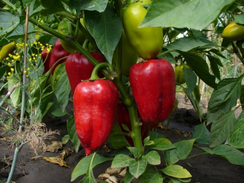 Выращивание сладкого перца в теплице для продажи дорогого продукта