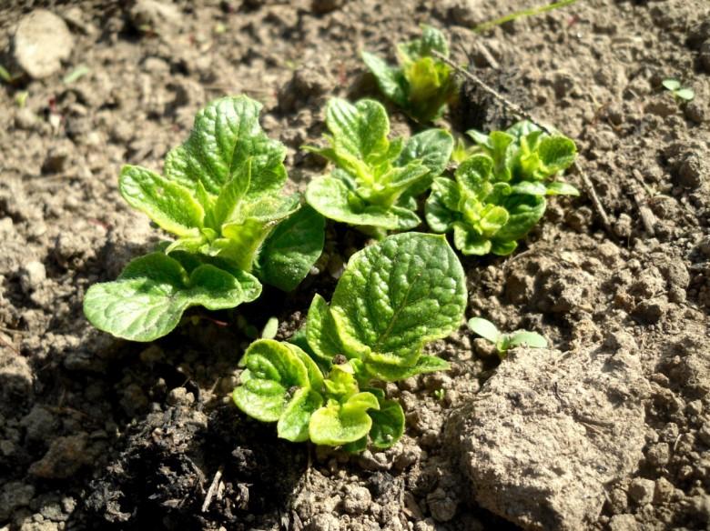 Удобрения для картофеля: какие вносить весной и осенью