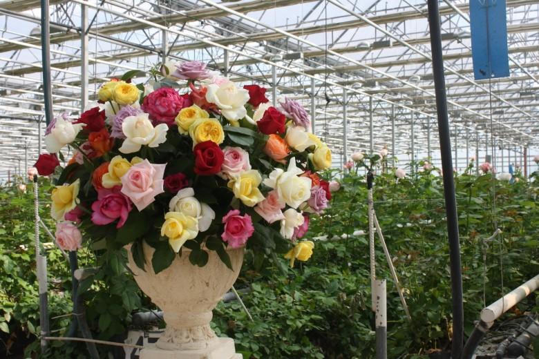 Как вырастить розы в теплице на продажу