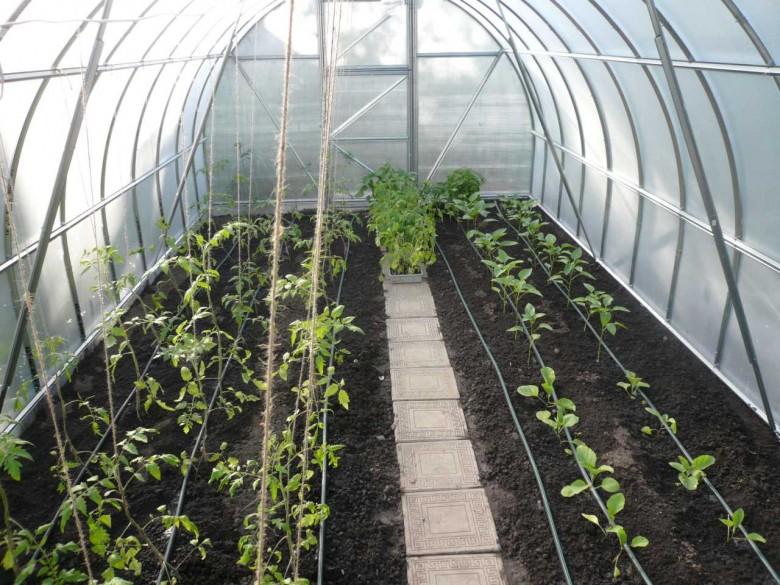 Почему зеленеет земля в теплице и как бороться с этим недугом